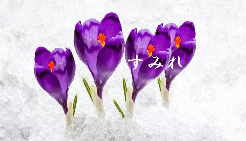 冬すみれの花